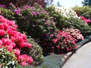 Photo of Azaleas in bloom